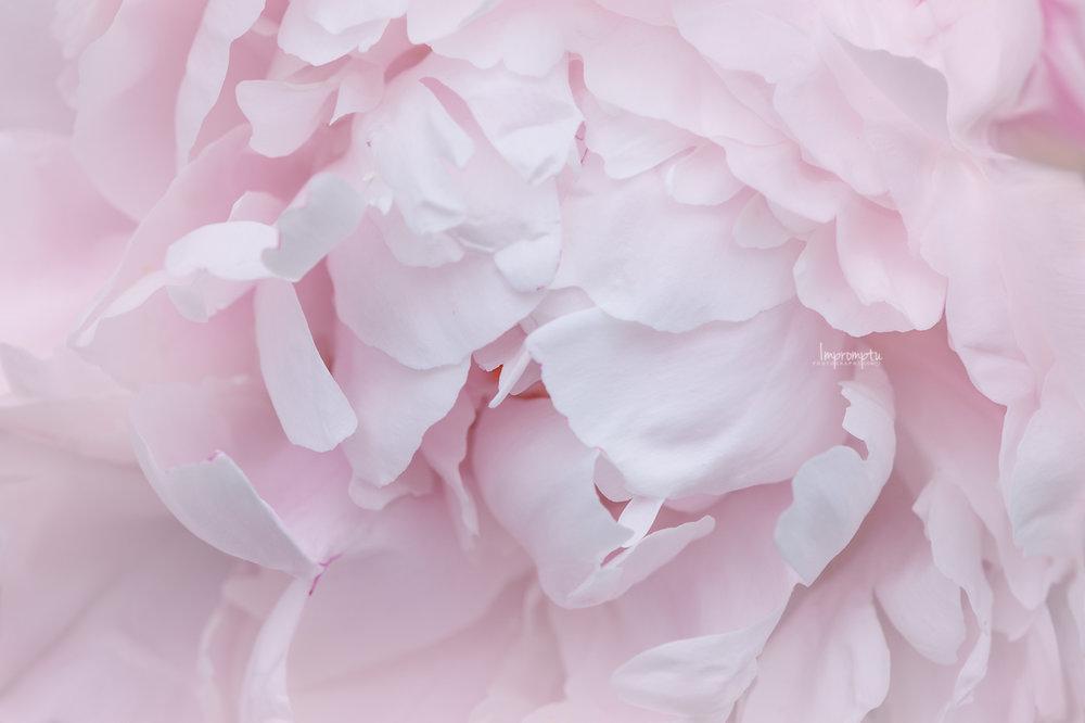 _53 06 05 2018 2 Details of a Peony sorbet pink.jpg