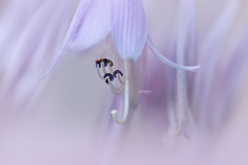 _55 07 18 2018  Diana Remembered Hosta.jpg