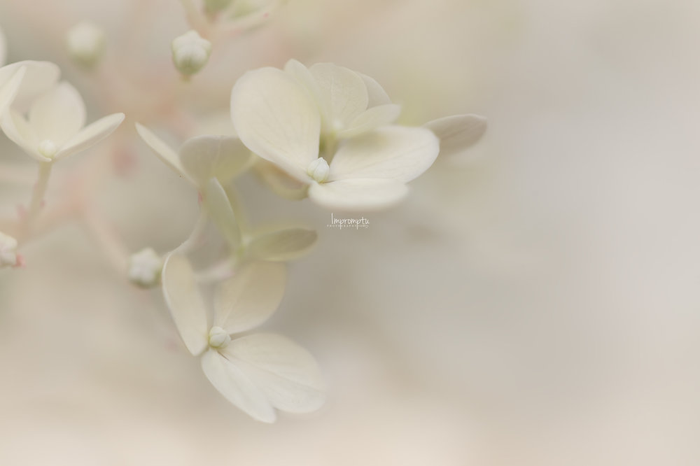 _87 2 07 30 2018 Single Cream bloom Panicle Hydrangea.jpg