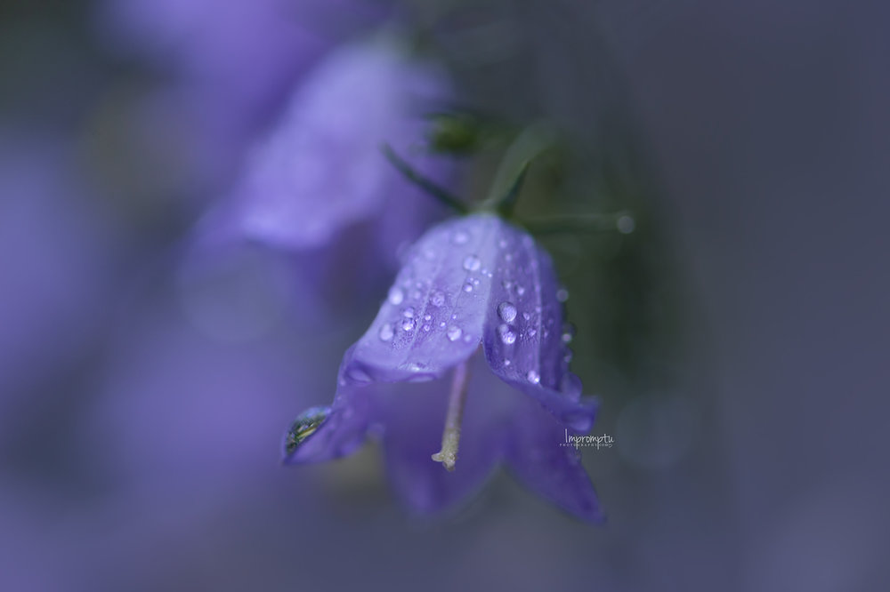 _94 06 20 2018  Harebell or Bluebell flower in the rain.jpg