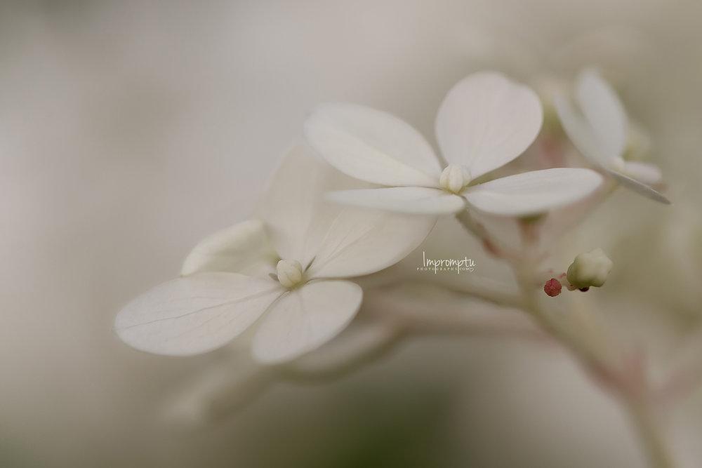 _135 2 12x8 07 26 2018 Cream Panicle Hydrangea.jpg