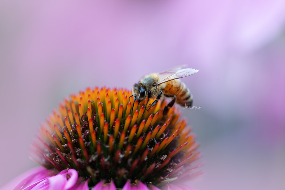 _152 07 21 2018 Honey bee on Cone Flower.jpg