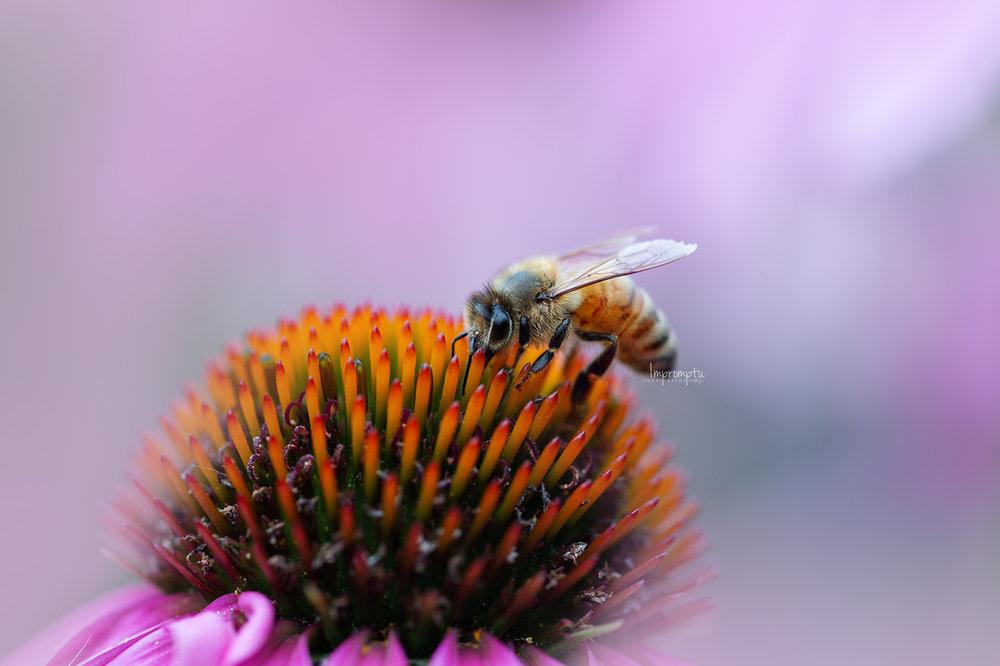 _152 07 21 2018 Honey bee on Cone Flower.jpg
