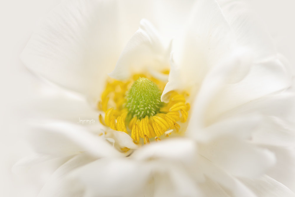 _200 06 01 2018  Miniature White Ranunculus up close.jpg
