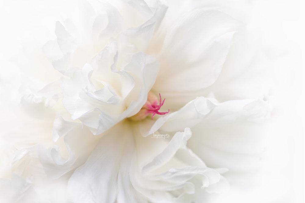 _220 06 01 2018 Duchess of Nemours White Peony.jpg