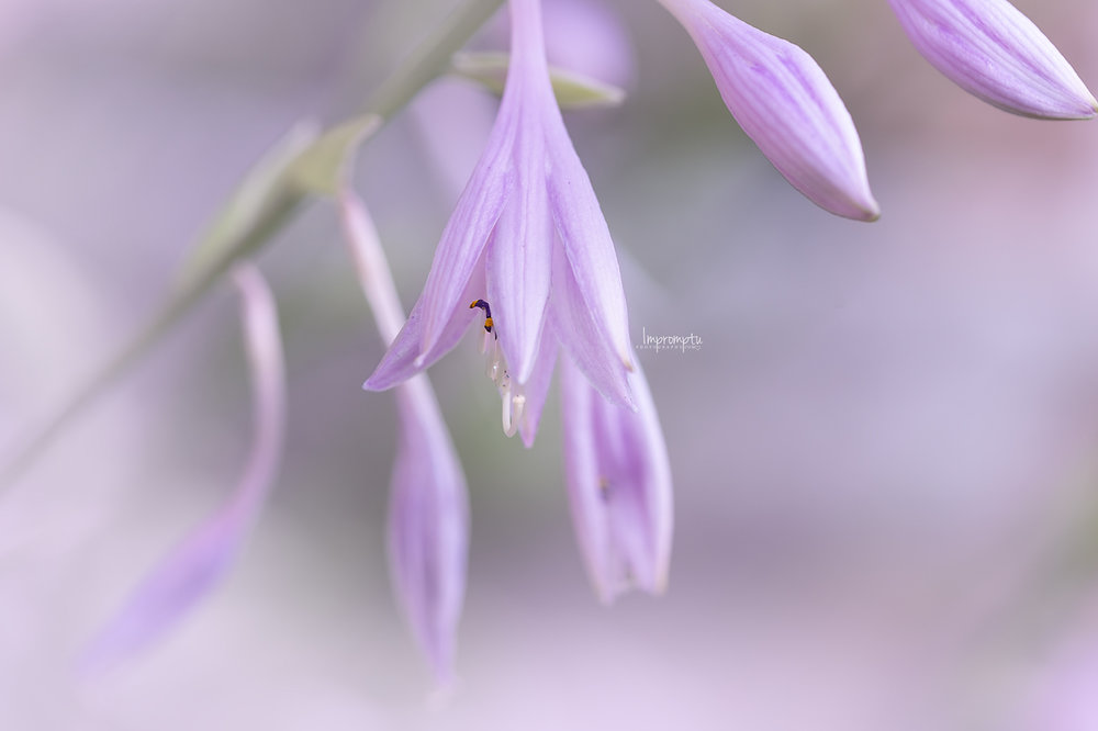 _257 07 14 2018   Diana remember hosta.jpg