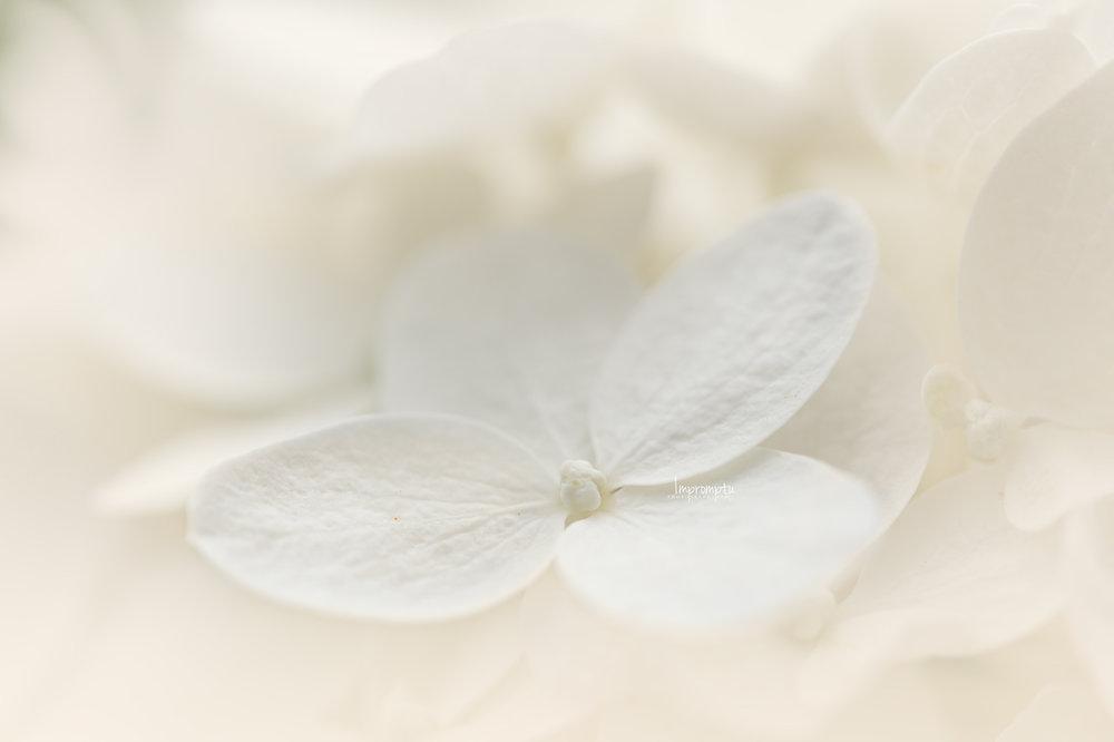 _389 07 14 2018  White Panicle Hydrangea single bloom.jpg