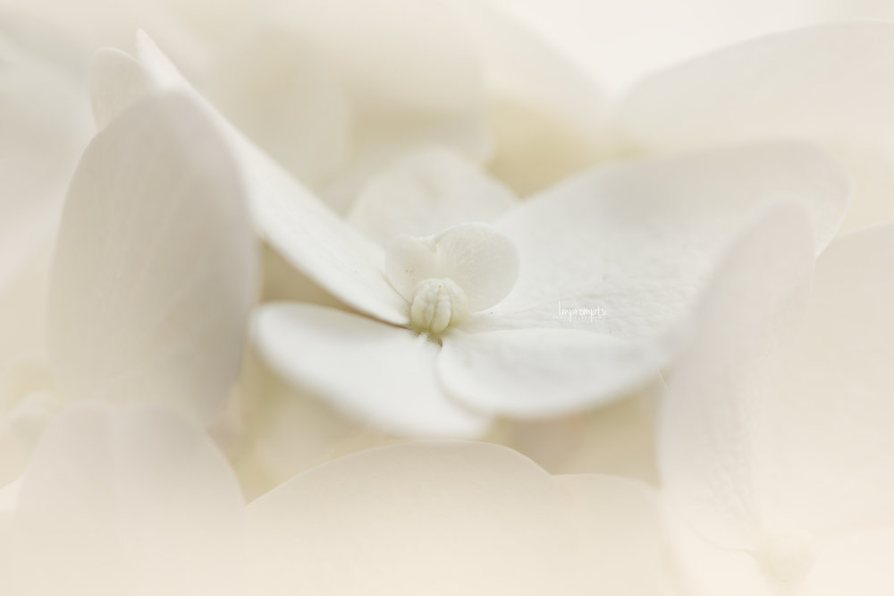 _443 07 14 2018  Panicle Hydranga single bloom.jpg