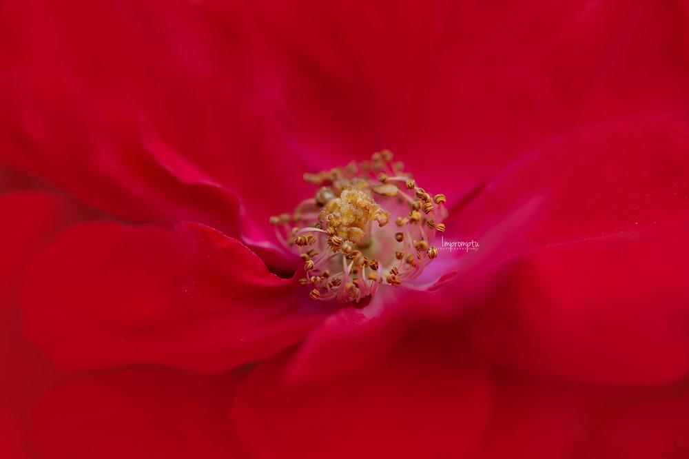 _49 3 09 10 2018 Miniature Rose bush.jpg