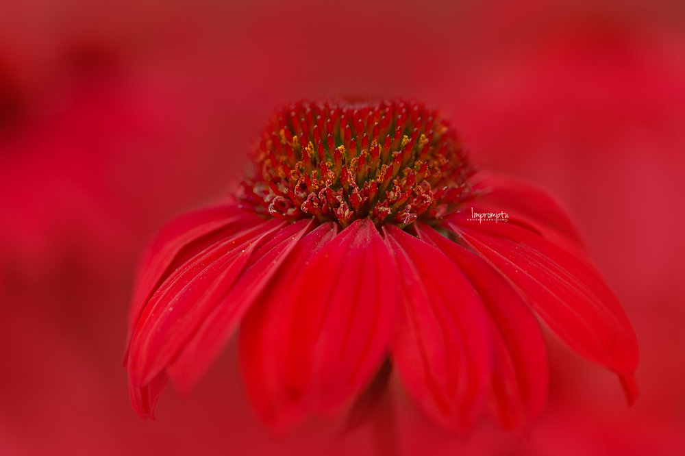 _79 09 10 2018 Close up of Red coneflower blooms.jpg