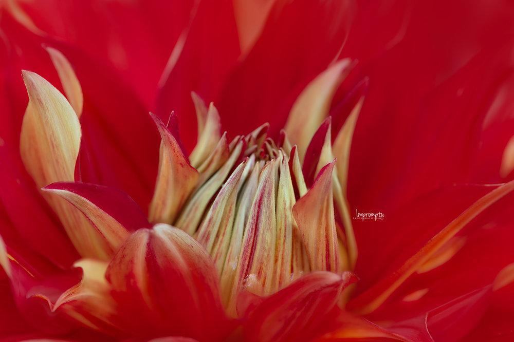 _140 08 25 2018 Details of a Red Dahlia.jpg