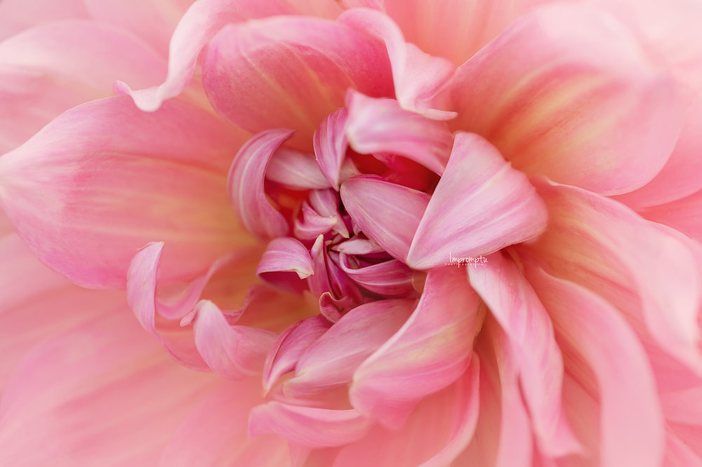 _143 2 09 13 2018 Detailed twists and petals of a Pink Dahlia.jpg