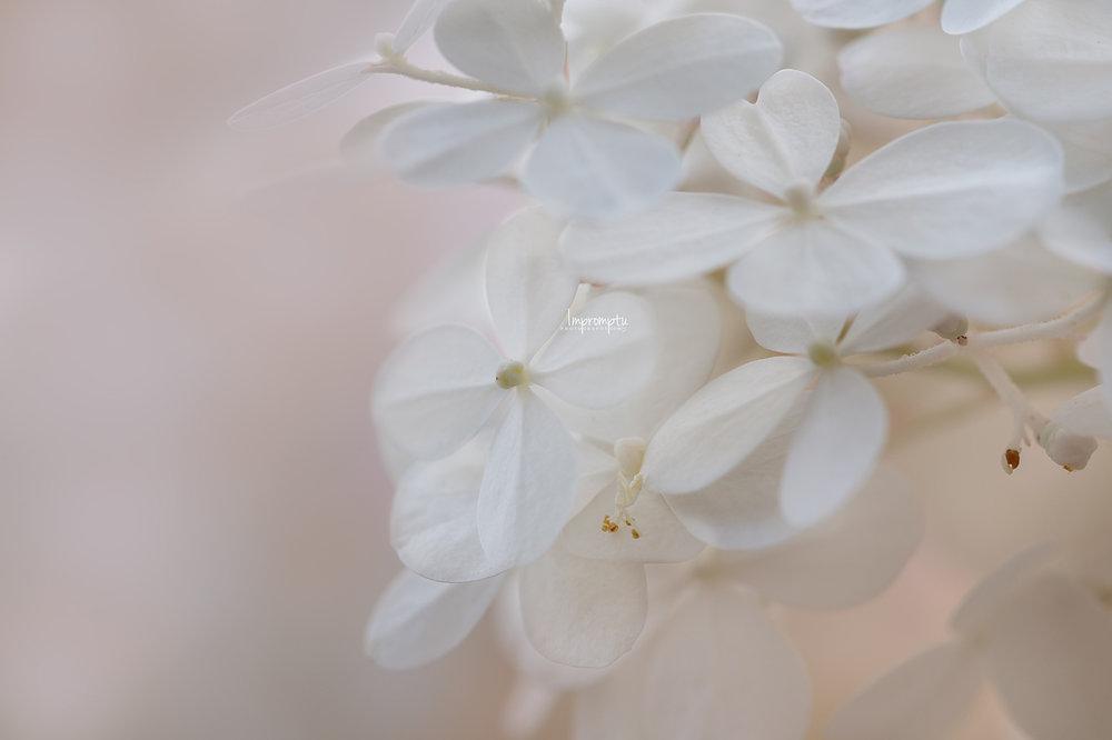 _145 2 08 15 2018  White Panicle Hydrange cluster detailed.jpg
