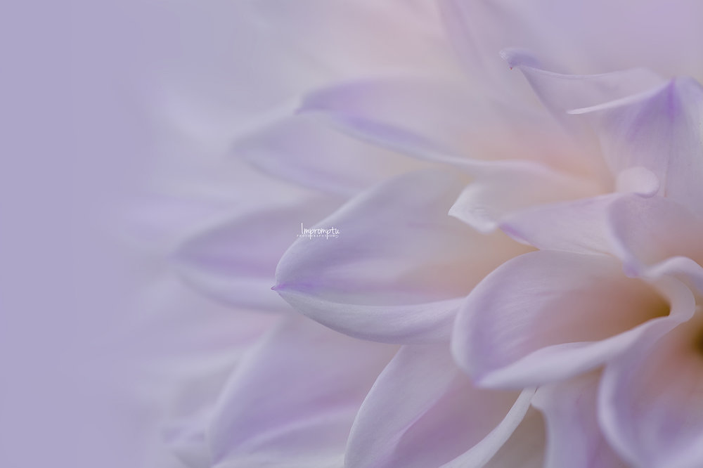 _153 3 09 01 2018 Waves of a white and purple Dahlia.jpg