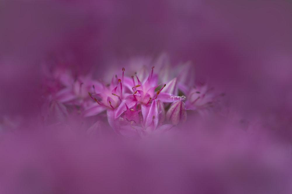 _165 1 09 01 2018 Purple magenta Sedum Stonecrop single bloom cluster.jpg