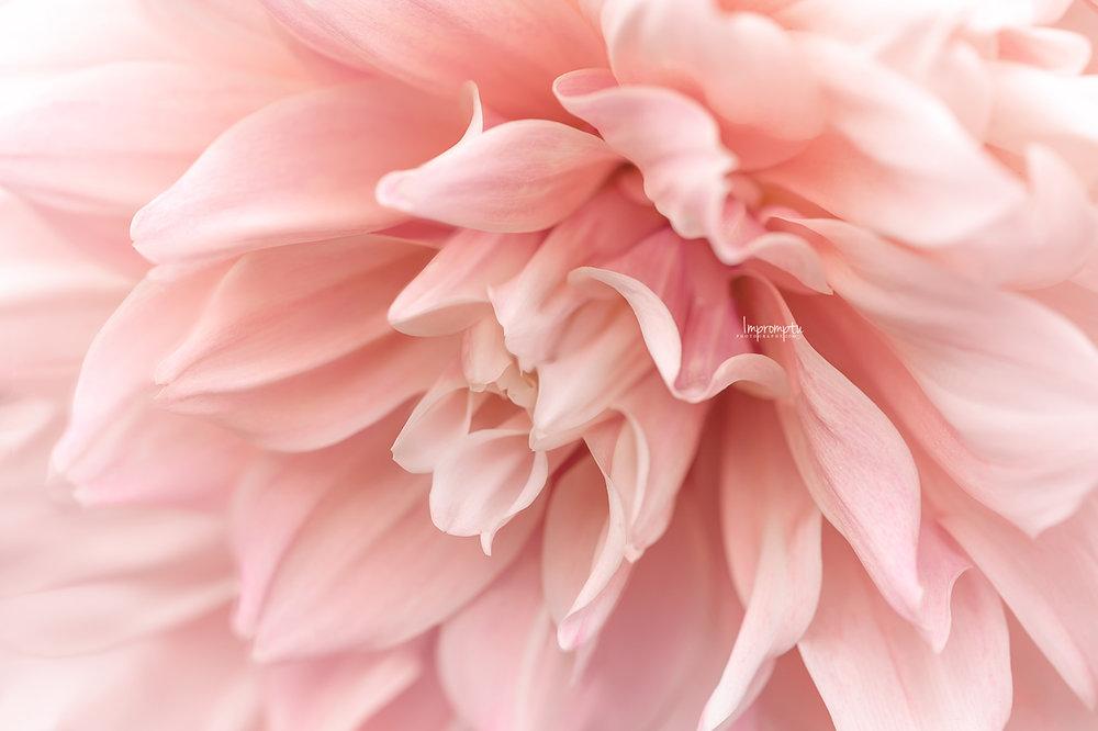 _167  3 09 10 2018  Pink Dahlia side view.jpg