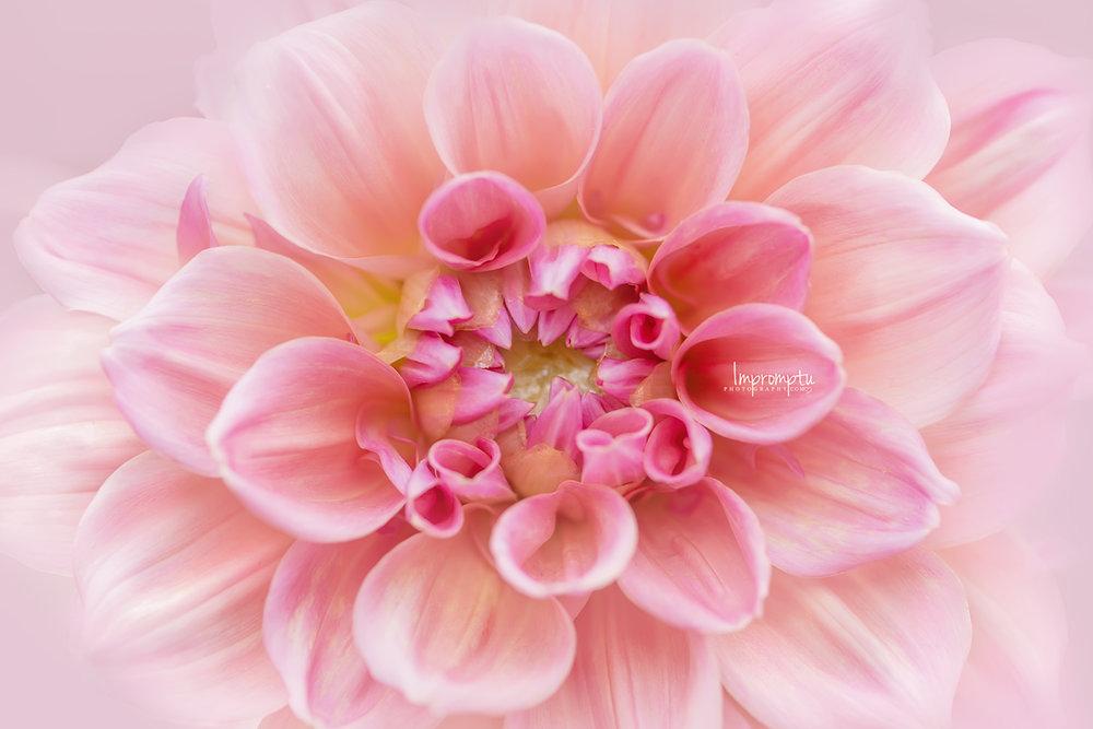 _209  12x8 08 15 2018 Pink Dahlia Bloom detailed.jpg