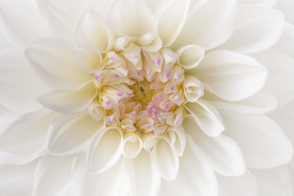 _237 2 08 12 2018  White and Purple Dahlia bloom front view.jpg