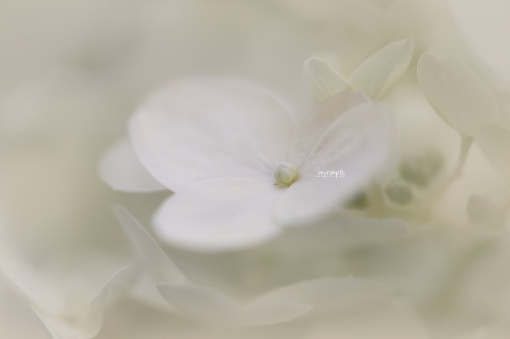 _246 2 09 08 2018 Single Panicale Hydrangea bloom in detail.jpg
