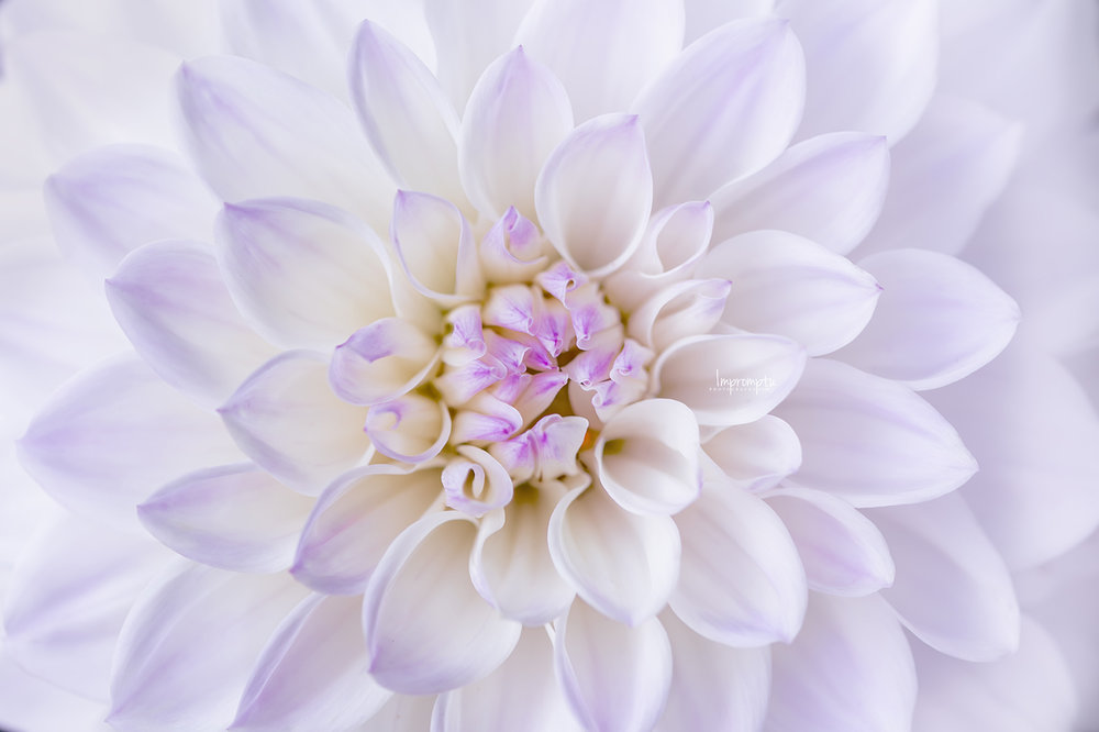 _238 2 08 25 2018 Detailed White and Purple Dahlia Bloom.jpg