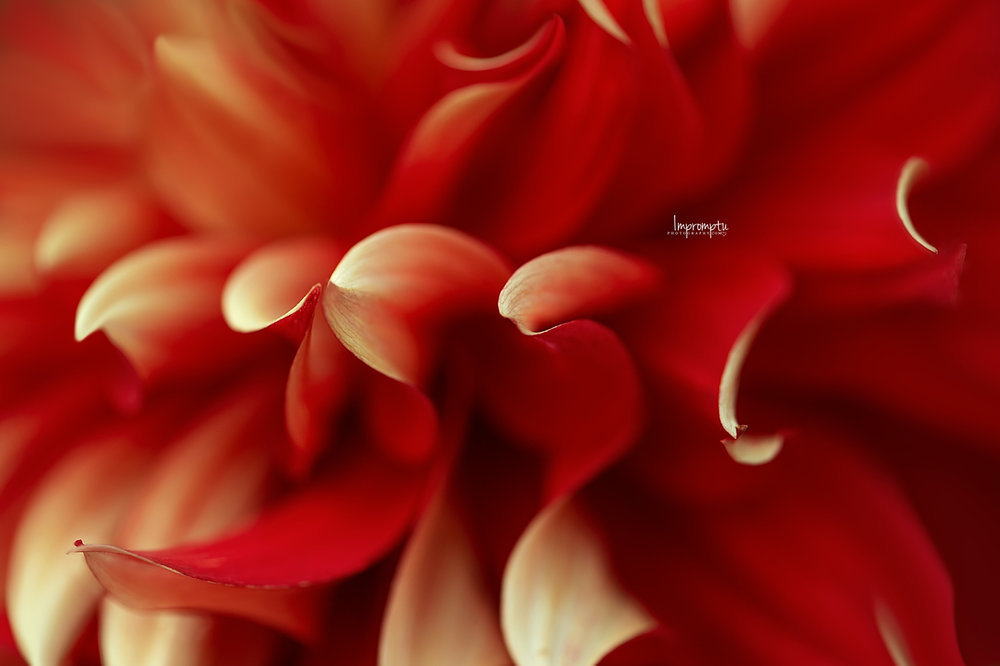 _256 3 2 09 01 2018 Waves of Red Dahlia Petals.jpg