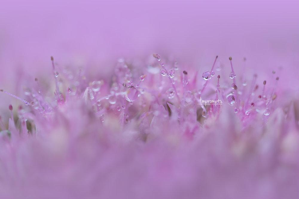 _261 12x8 09 10 2018  Sedum Stonecrop after the rain Droplet Diamonds.jpg