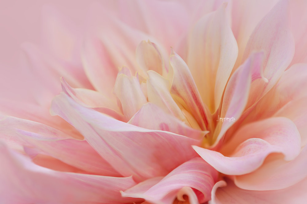 _288 08 25 2018 Waves of Dahlia petals in detail side view.jpg