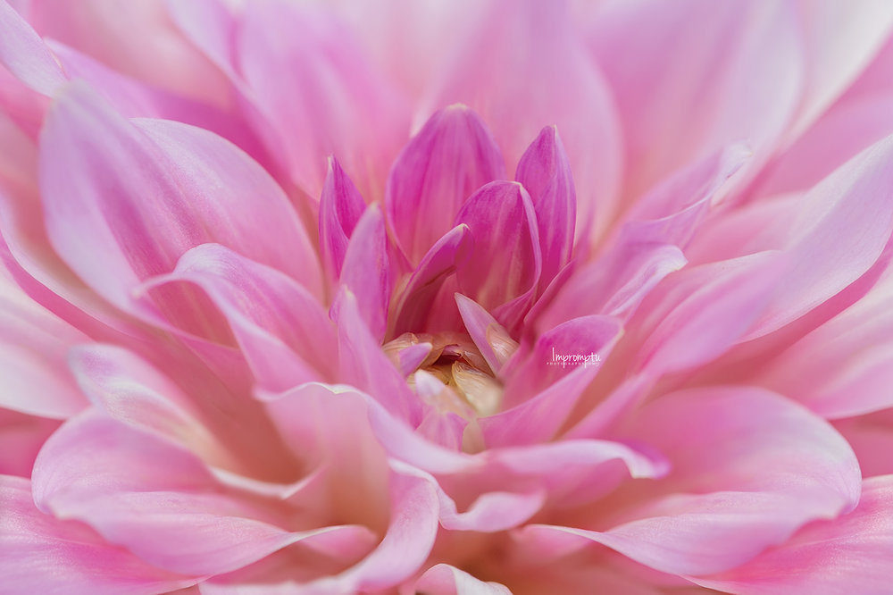 _328 3 08 25 2018 Details of a front Pink Dahlia.jpg