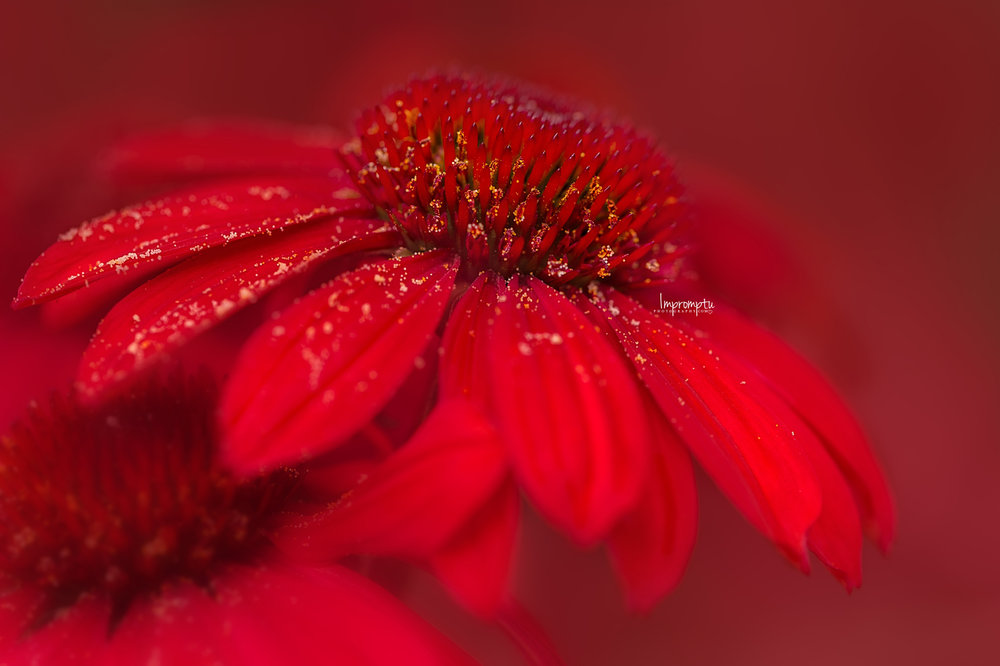 _331 09 01 2018  Details of a Red Coneflower cluster.jpg