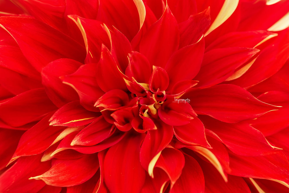 _375 3 09 01 2018 Full details of a Red Dahlia.jpg