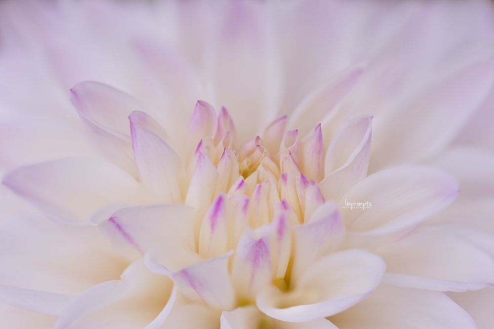 _389 2 08 25 2018 White and purple Dahlia.jpg