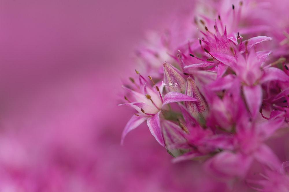 _436 2 08 25 2018 Details of a single Sedum Stonecrop bloom magenta.jpg