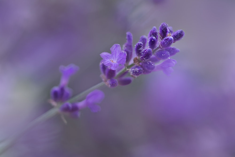 _473 2 09 08 2018  Details of a single stem of Lavender in bloom.jpg