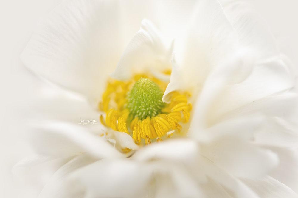 _200 06 01 2018  Miniature White Ranunculus up close.jpg