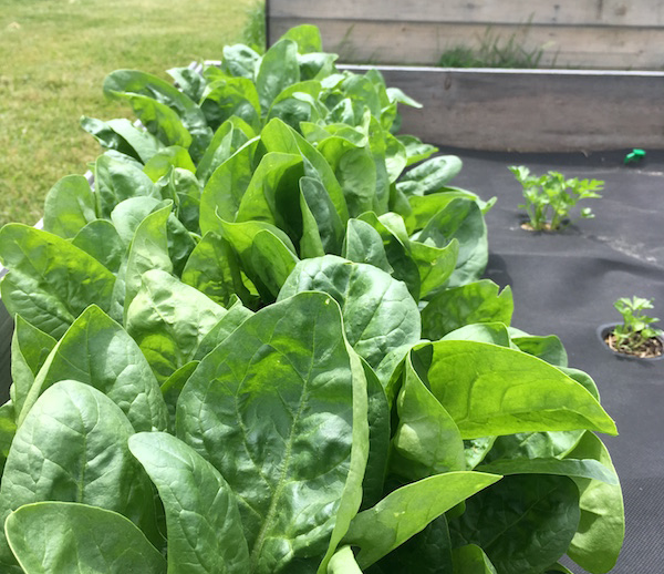 Healthy spinach just waiting to be made into summer smoothie!