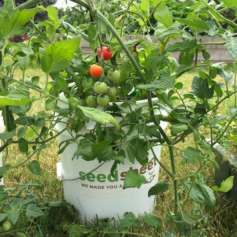 Bucket Tomato Seedsheet Kit