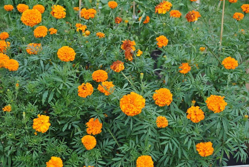 Marigolds planted near tomatoes deter nematode pests in the soil.