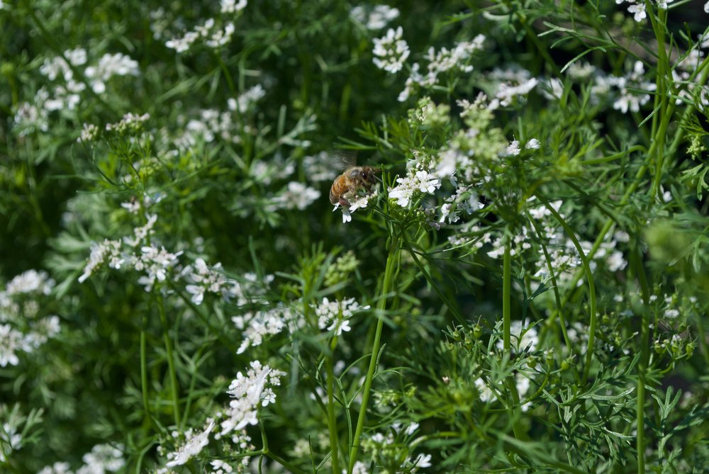 A honey bee caught in the act--pollinating the cilantro flowers!