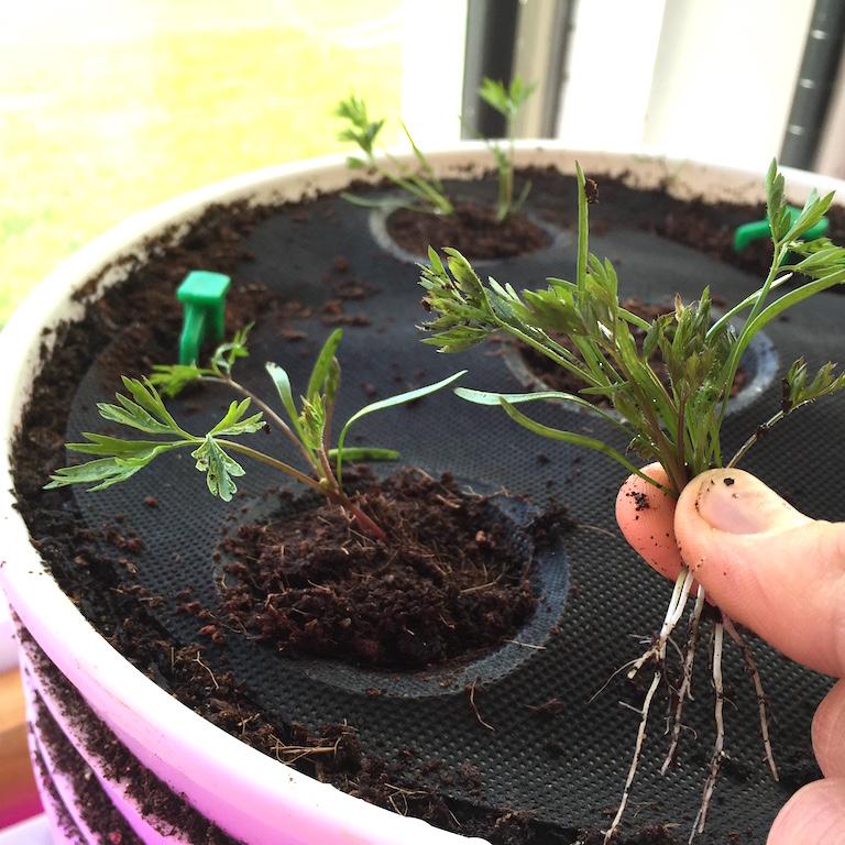 Thinning atomic carrot seedlings
