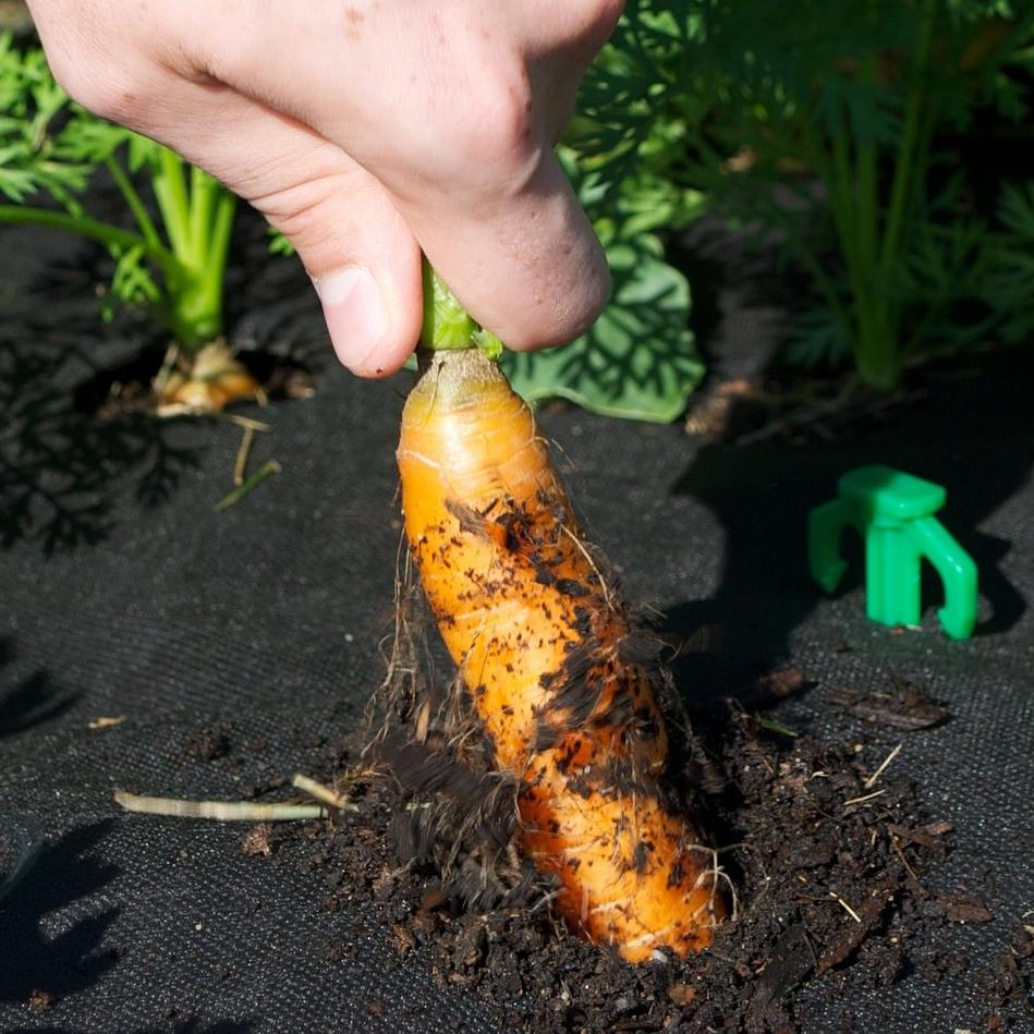Harvesting a Napoli carrot