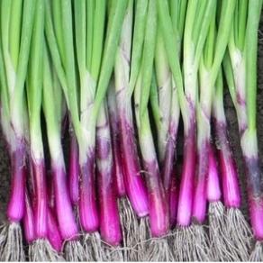 Lineup of Purple Bunching Onions