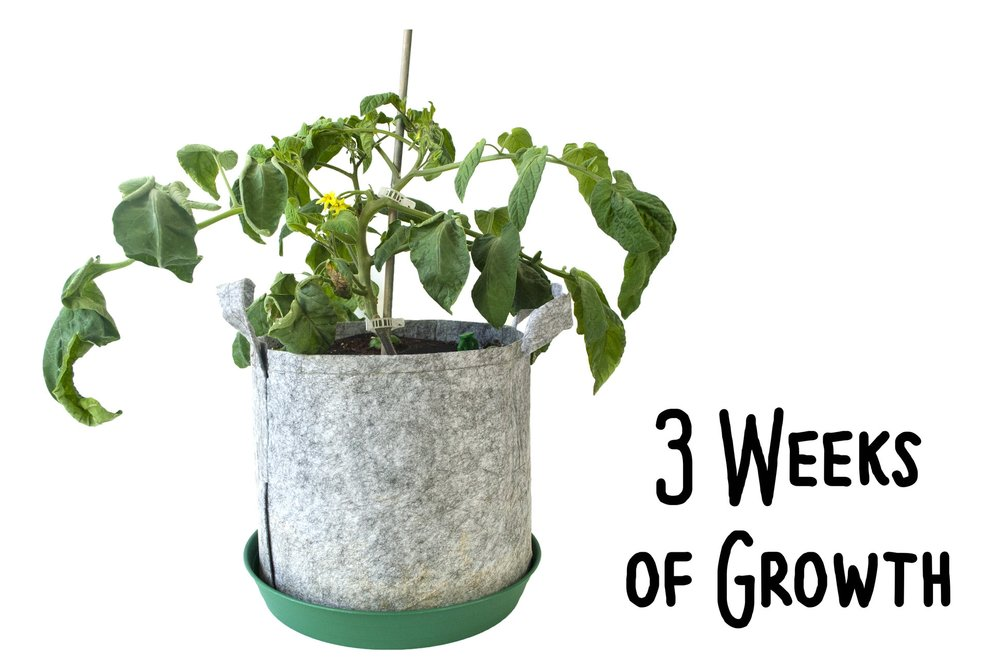 Tips to support your tomato plant for healthy growth