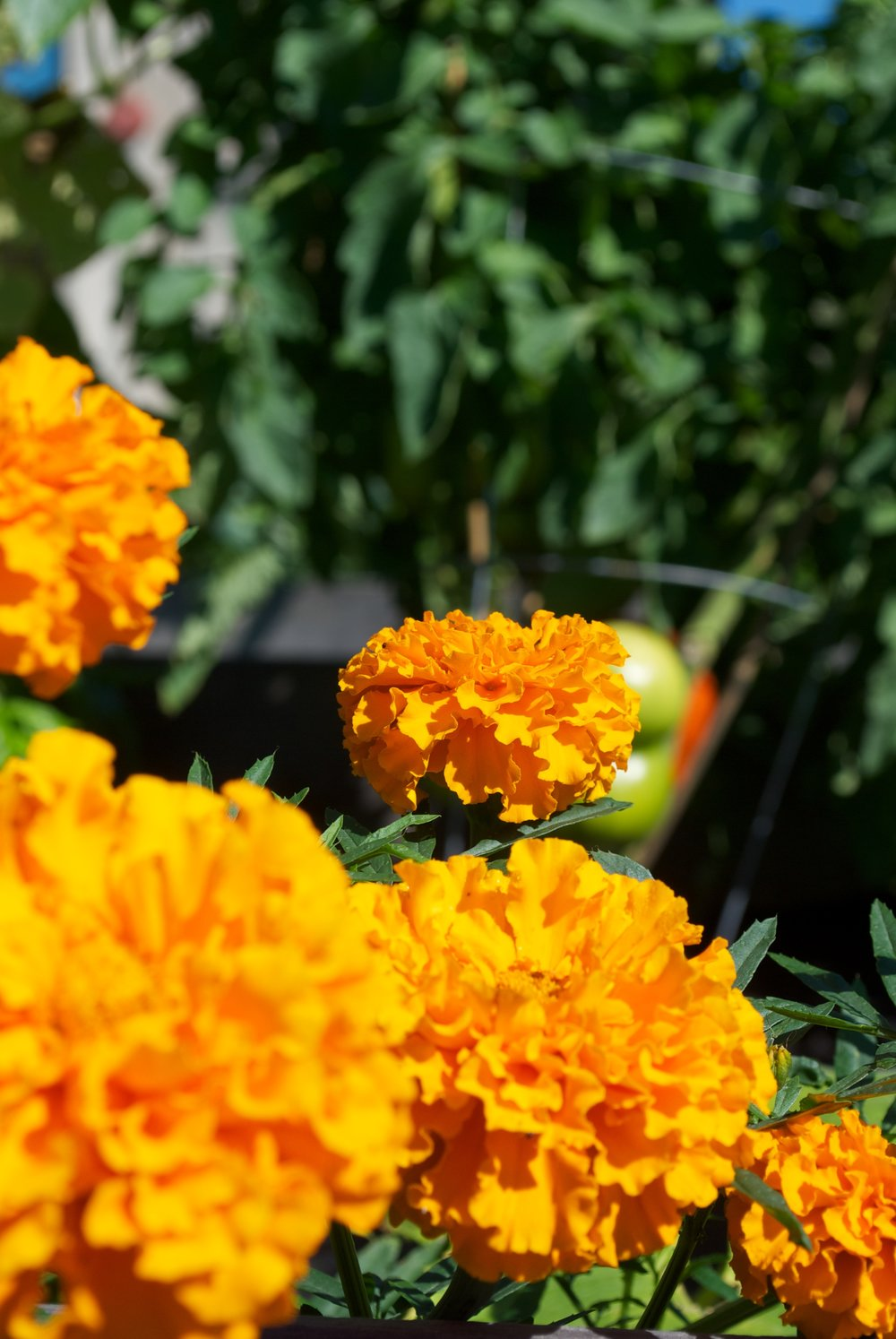 Marigolds + Tomatoes