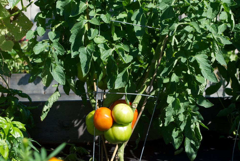 Tomatoes + Basil