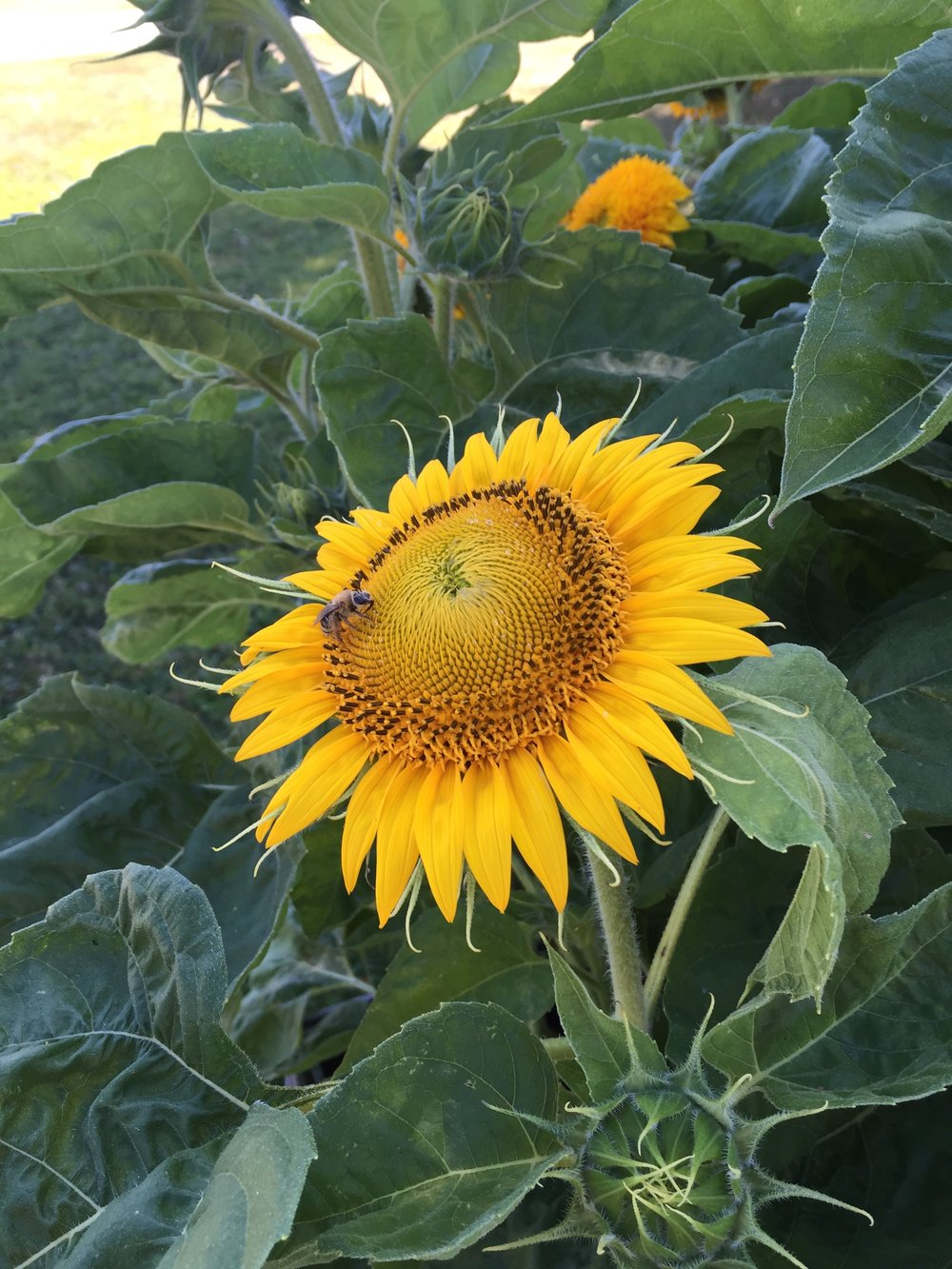 Honeybees on Sunflower