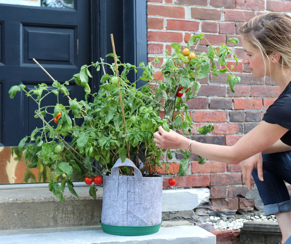 Harvesting sweet basil leaves with ripe glacier tomatoes.