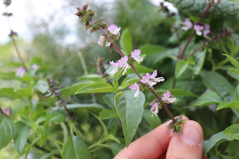 Thai Basil Flowers