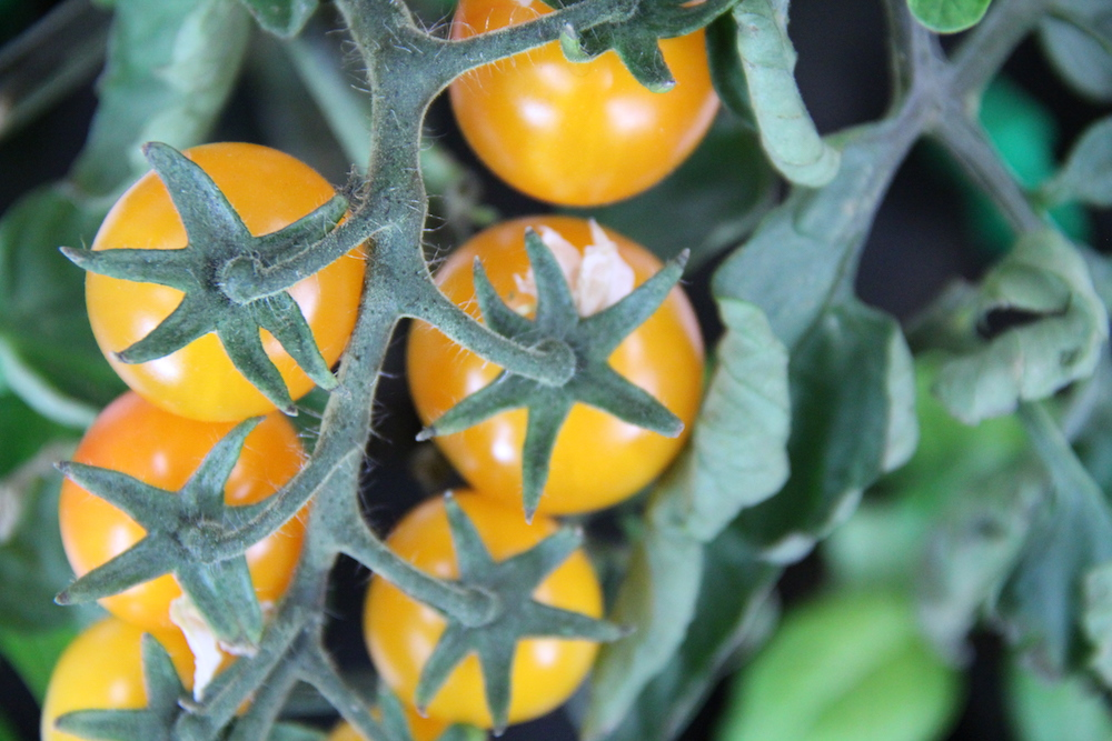 Golden Nugget Cherry Tomatoes