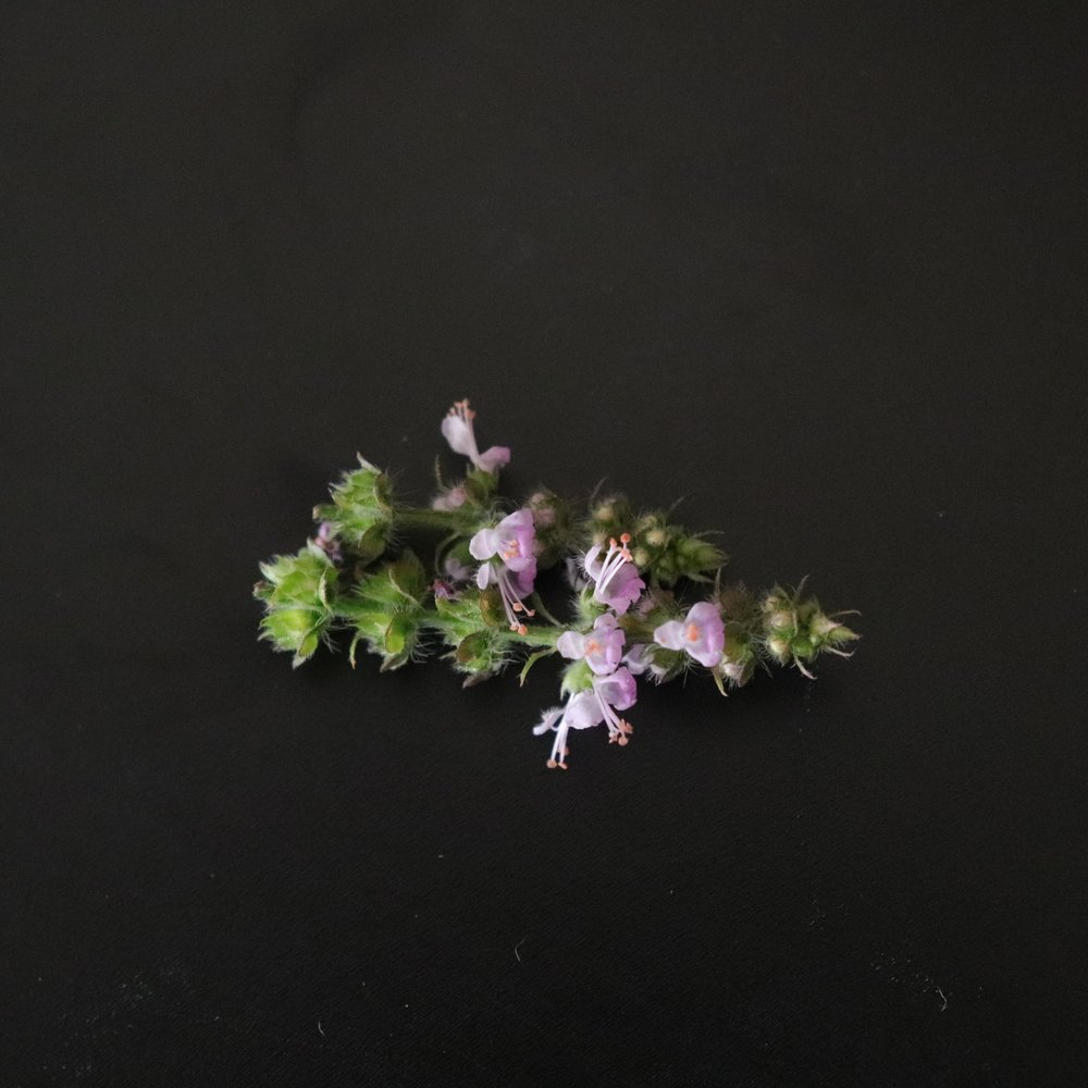 Edible Flowers - Tulsi