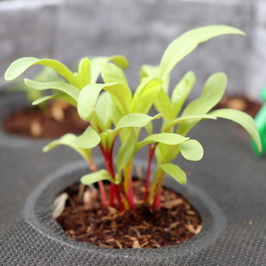 Rainbow Chard Sprouts